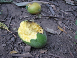 mango-frout