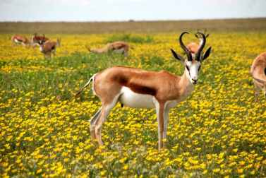 antelope-nature-flowers-meadow-52961
