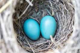 bird-nest-eggs-blue-158734