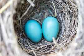 bird-nest-eggs-blue-158734