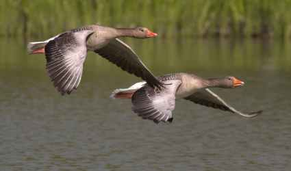 canada-geese-geese-animals-water-53531