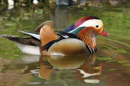 duck-mandarin-ducks-aix-galericulata-duck-bird-85674