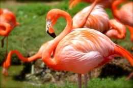 flamingo-bird-pink-nature