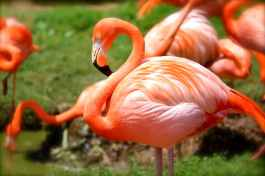 flamingo-bird-pink-nature