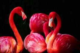 flamingo-phoenicopterus-flamingos-phoenicopteriformes