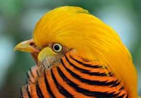 golden-pheasant-bird-exotic-wildlife-57445