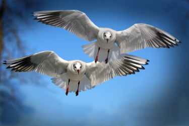 gulls-birds-fly-water-bird-37857