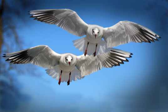 gulls-birds-fly-water-bird-37857