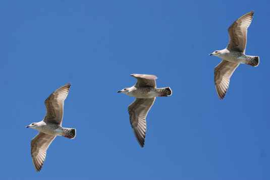 gulls-seagull-wings-feather-56593