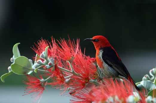 scarlet-honeyeater-bird-red-feathers