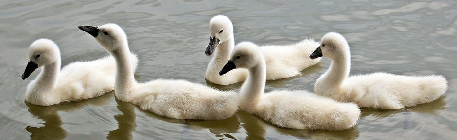 swans-baby-swans-water-waterfowl-158686