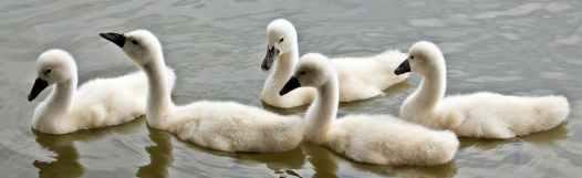 swans-baby-swans-water-waterfowl-158686