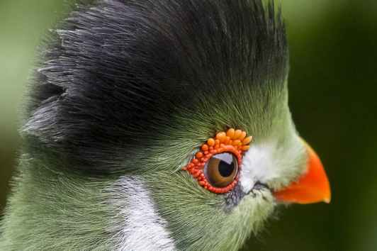 white-cheeked-touraco-bird-162192