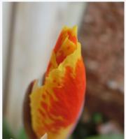 canna-flower